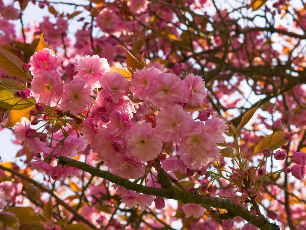 Primavera: cerejeiras, sejam bem vindas!